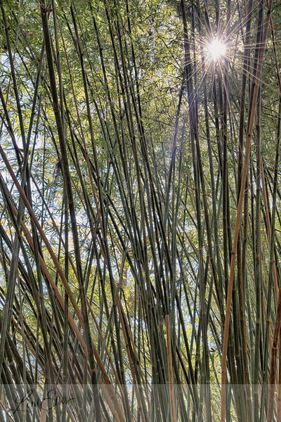 Sun Rays in Bamboo Forest