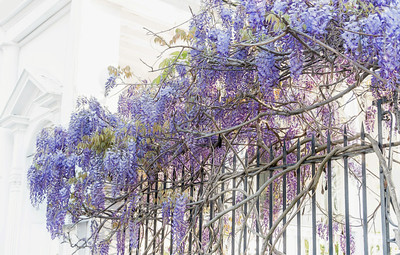Wisteria, Old Charleston