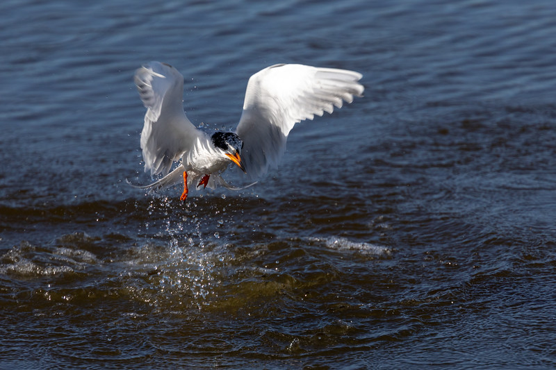 Tern Recovers From Unsuccessful Dive for Prey at Huntington Beach