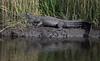 Wild Huge Alligator Basking in Sun at Donnelly Wildlife Refuge (8,000 acres)