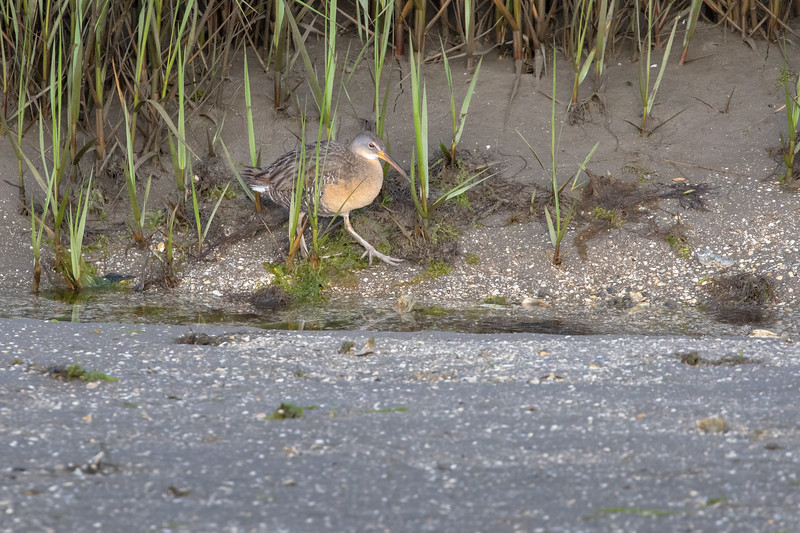 Wild King Rail, the largest American Rail, Searches for Mate in Marsh