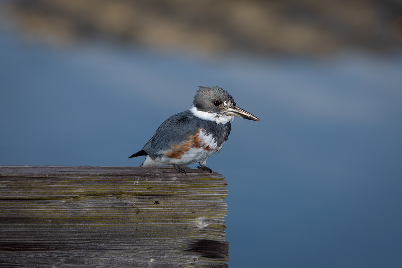 Belted Kingfisher Perched on Wooden Bridge Timber to Hunt Prey Below.
