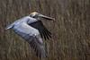 Brown Pelican Soaring over Tidal Marsh near Charleston.