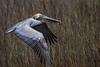Brown Pelican Soaring over Tidal Marsh near Charleston.