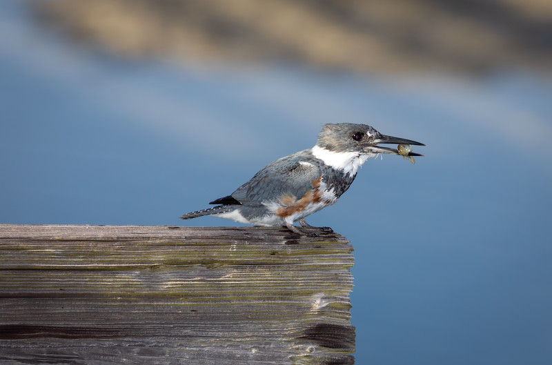 Belted Kingfisher's Successful Hunt.