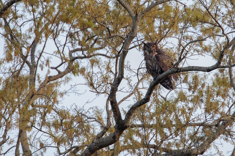 Wild Large Great Horned Owl Perched at Sunrise on Bear Island