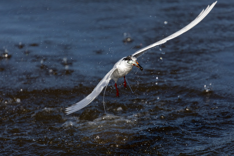 Tern's Successful Dive into Tidal Pool at Huntington Beach