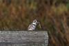 Belted Kingfisher Captures Huge Fish -Toooooo Large to Swallow!