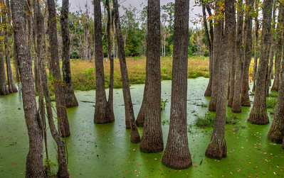 green-algae-swamp-trees