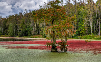 red-green-swamp-algae-2