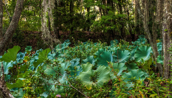 elephant-ears-swamp-plants