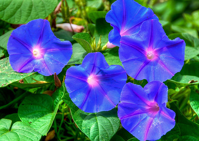 blue-purple-flowers