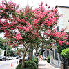 IMG_8328-1CrepeMyrtleEastBayStreetCharleston062614