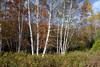 Maples&Birch 2008-004
