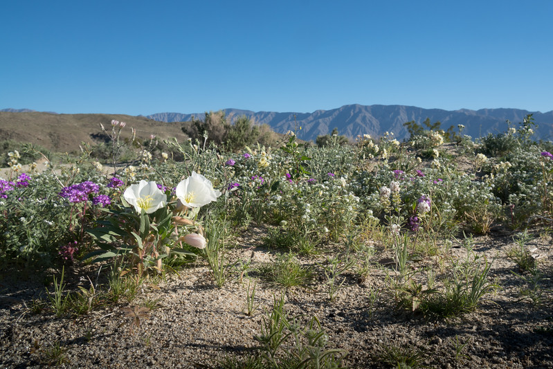 Super bloom in Borrego Springs this year