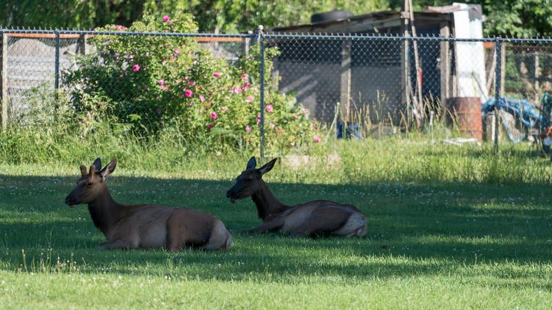 Resting Elk, Packwood WA