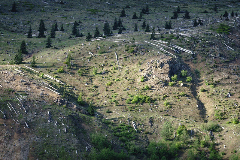 Blown down trees from eruption of Mt. St. Helens