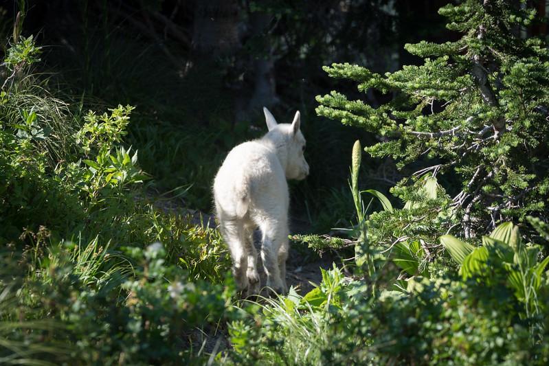 Baby Mt. Goat