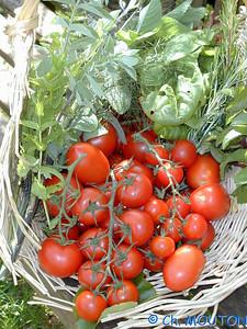 Tomates 1 C-Mouton