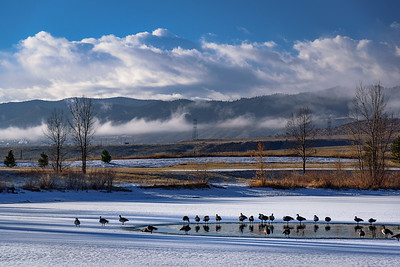 Geese Gathering around the warm of the open water at Trailmark