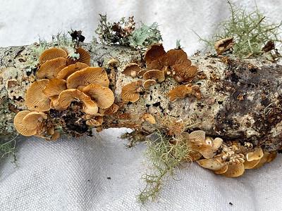 Mushroom-21