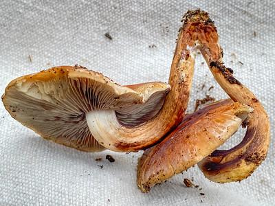 Mushroom-25