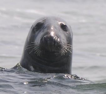 Seal on Chatham lighthouse beach