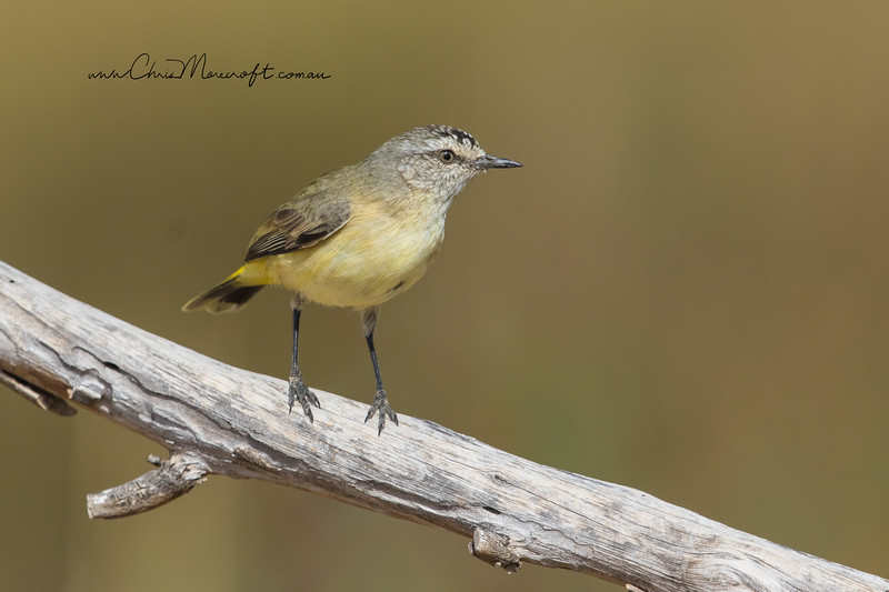 Yellow- Rumped Thornbill, Acanthiza chrysorrhoa