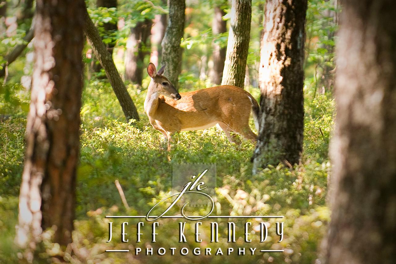 deer-12872 copy