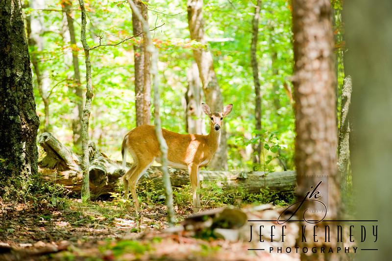 deer-12971 copy