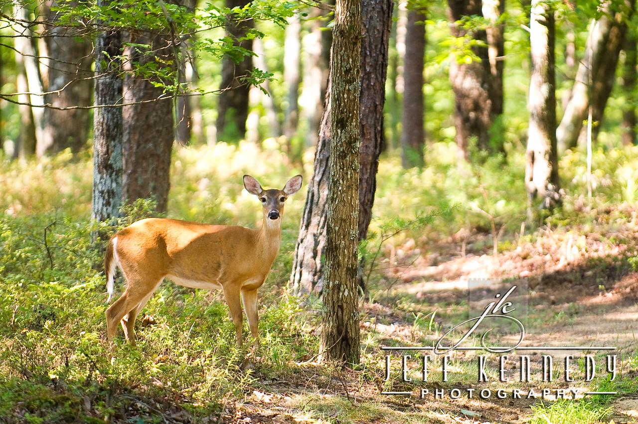 deer-12875 copy