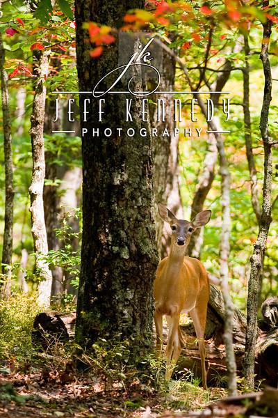 deer-12952 copy