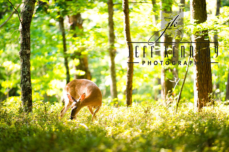 deer-12887 copy