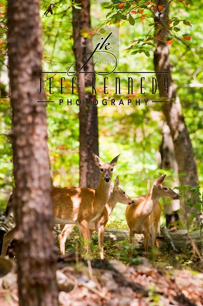 deer-12956 copy