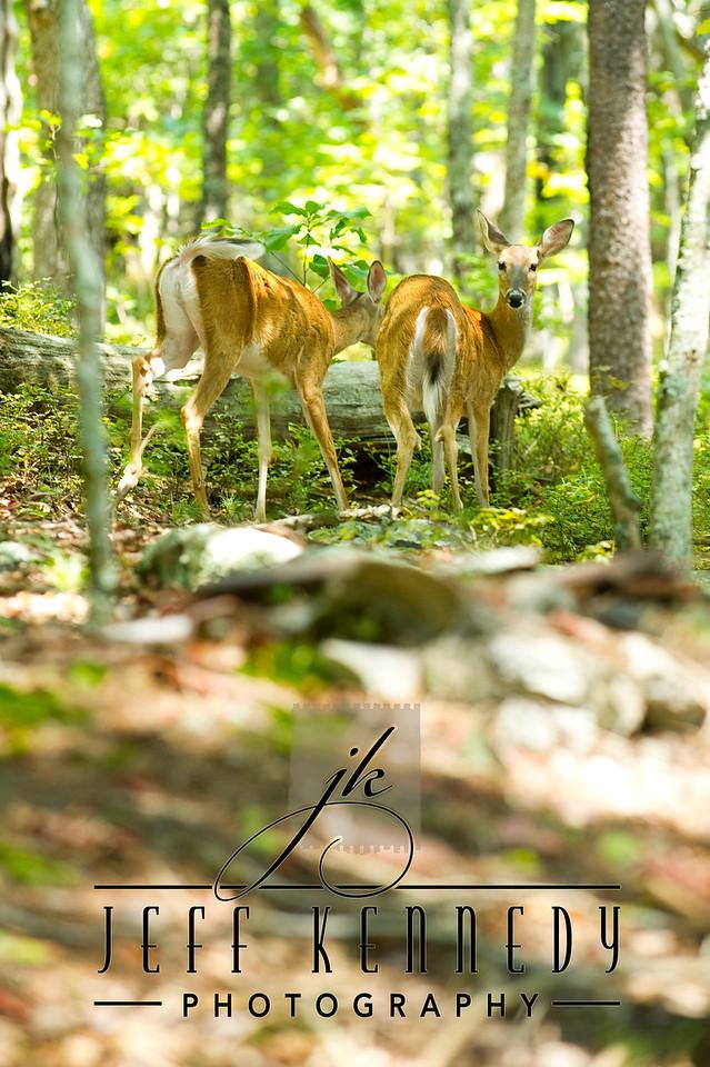 deer-12979 copy