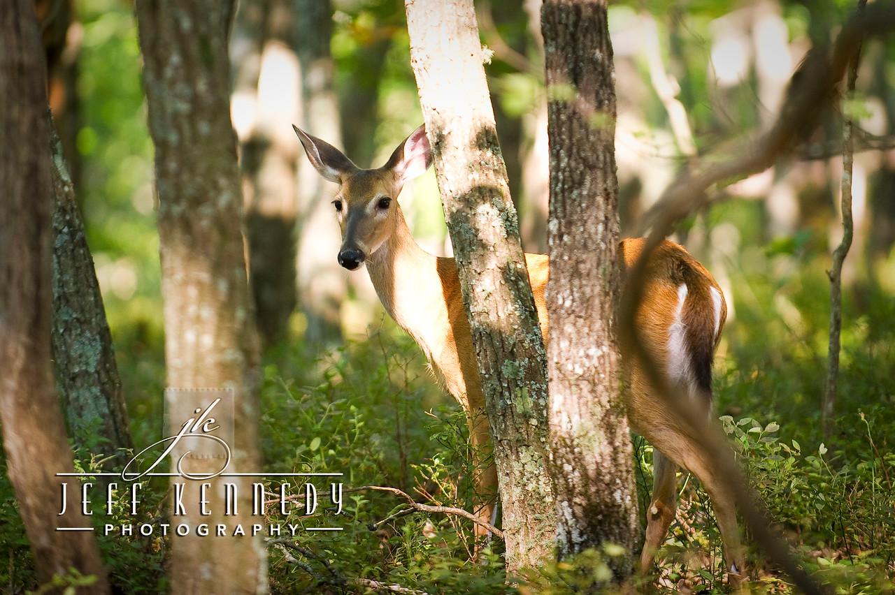 deer-12857 copy