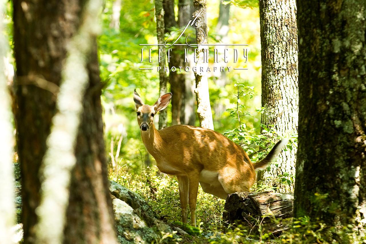 deer-12974 copy
