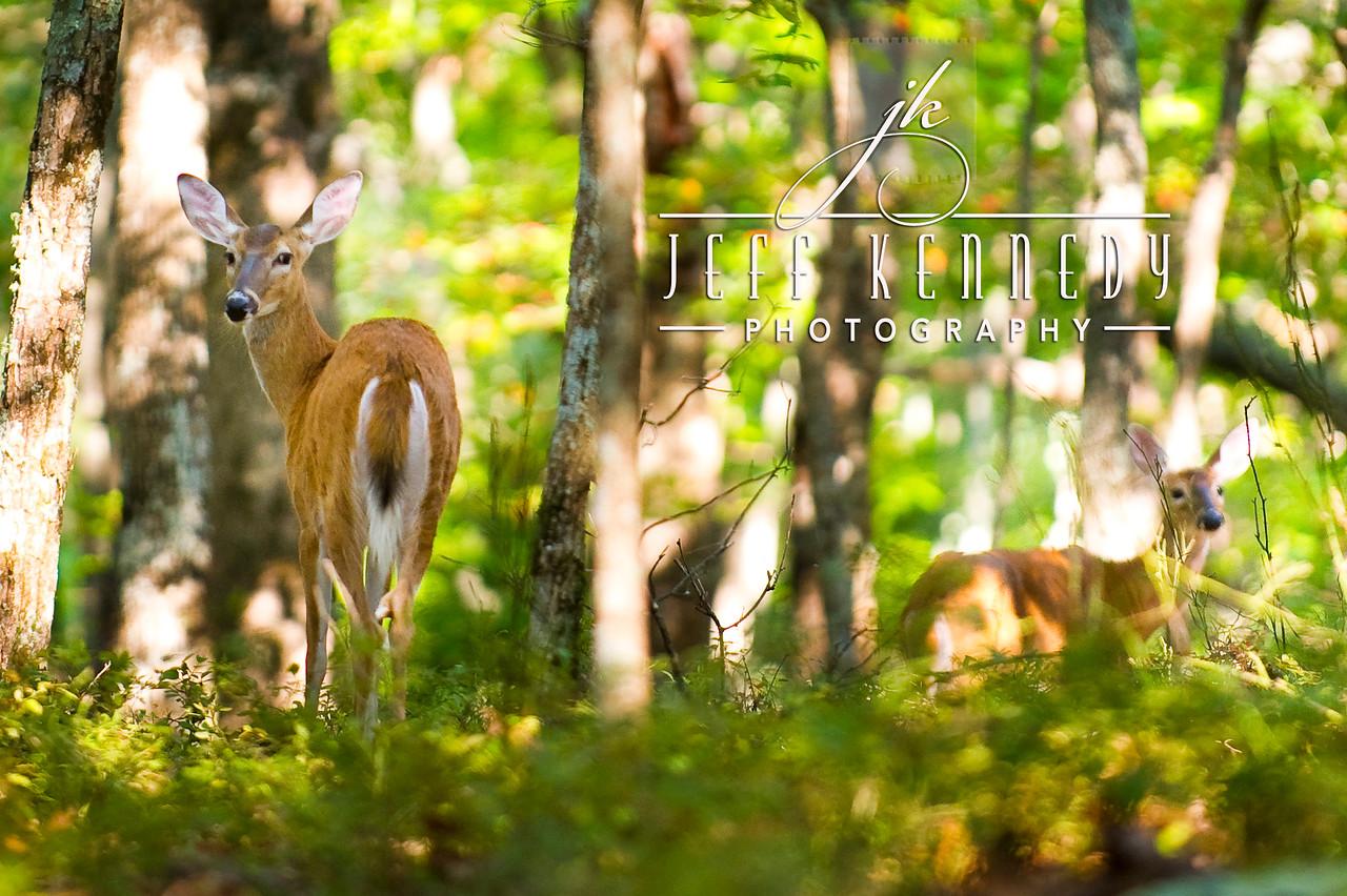 deer-12898 copy
