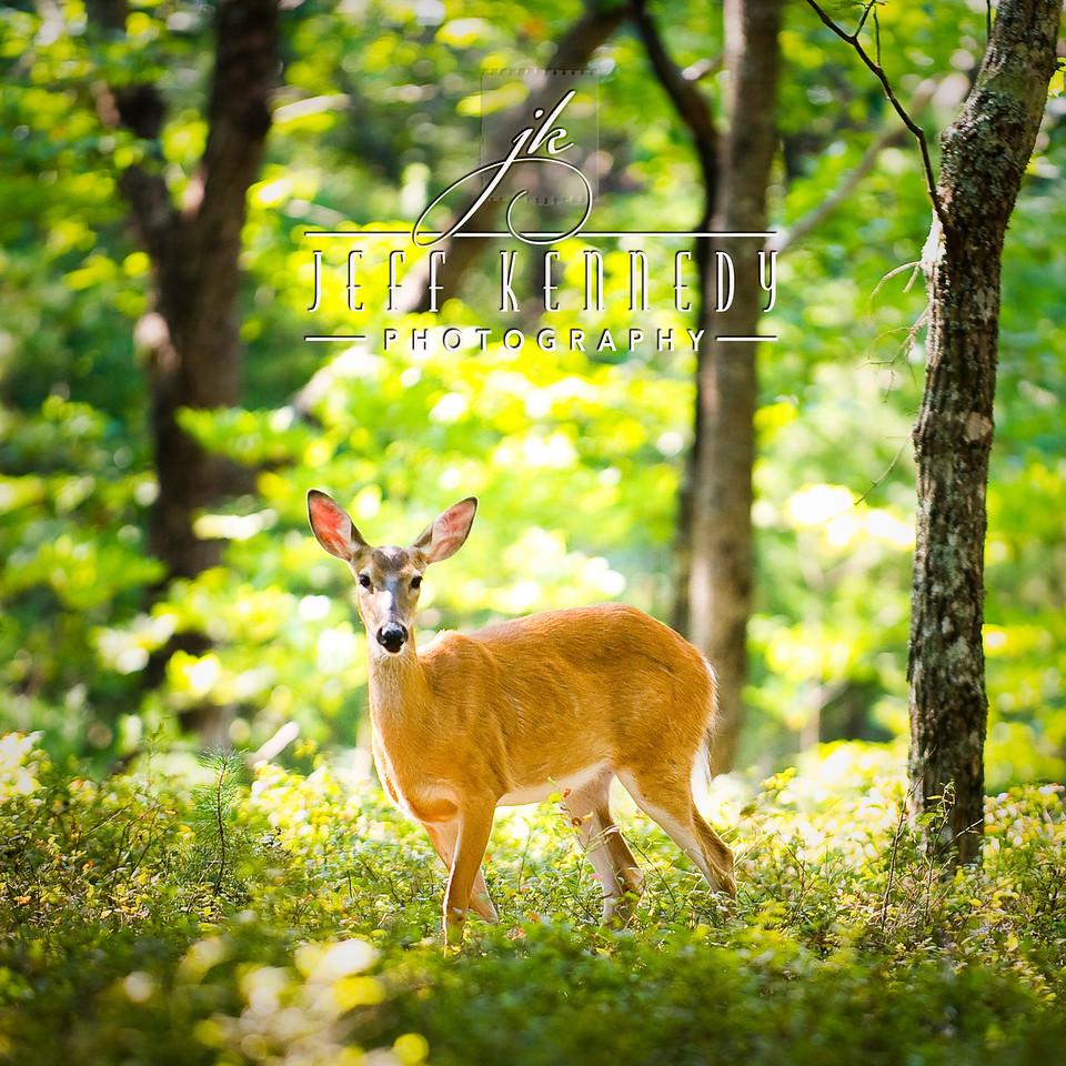 deer-12890 copy