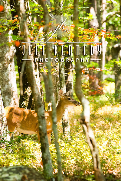 deer-12980 copy