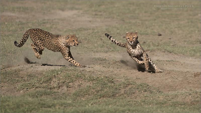 Cheetahs at Play Series 12 Shots  - Image 8 of 12