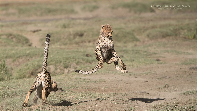 Cheetahs at Play Series 12 Shots  - Image 3 of 12