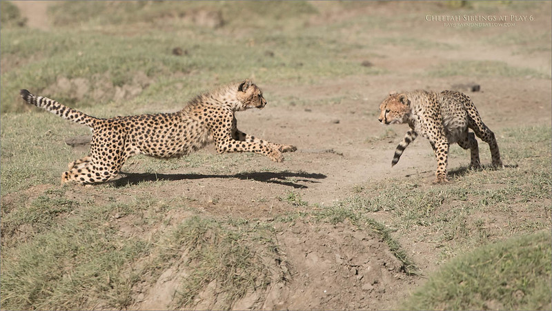 Cheetahs at Play Series 12 Shots  - Image 6 of 12