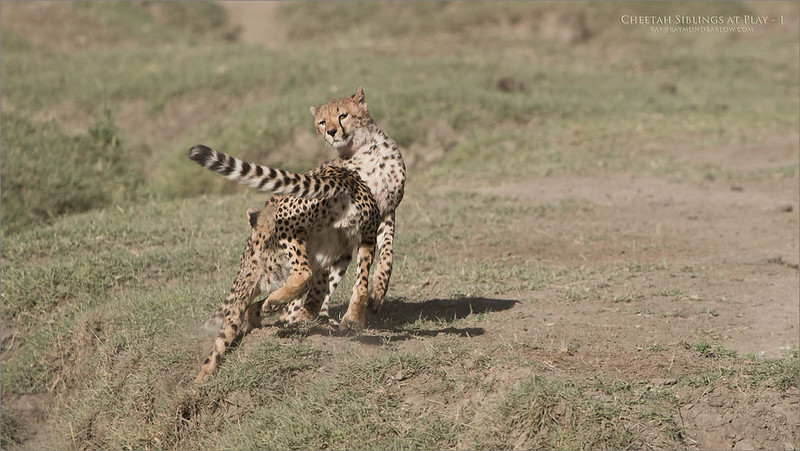 Cheetahs at Play Series 12 Shots  - Images 1-12<br /> <br /> A bit of a long story, but this morning of February 12th, 2018 was pretty amazing for our group. Our advance scouts found a mother cheetah, and her two cubs, about 10 minutes from our camp. We arrived at the scene, and fired several images of the three of them finishing their kill, then licking each others faces.<br /> <br /> Next, they were on the move, so I was looking off to the distance on my right, I saw they were heading for water. Easily keeping in front of their track, we maneuvered into several seriously good angles for photography.<br /> <br /> So here, I have skipped to the play fight... after they had all drank some water, the 2 cubs began to jump around and carry on like kittens.<br /> <br /> 165 images later, I was almost in shock.. the D850 captured every image in excellent focus and exposure. Early am harsh light was not bad, the environment was sweet, and the action intense!<br /> <br /> With this particular scene, we saw and captured a giant leap, one cheetah thought it was a bird for a second! Here are the first 3 shots, the next 3 shots show the cheetah even higher in the air, and landing... I will try to add the next three tomorrow.<br /> <br /> This reminds me of the Great Tiger battle, take a few years ago in India, with Margaret Keller. that to was pretty awesome to see.<br /> <br /> Somehow, luck follows me around., I can't explain that. I thank my brother Nas for getting me started in Tanzania!<br /> <br /> Thanks for looking.<br /> <br /> Cheetah Siblings at Play<br /> Raymond Barlow Photo Tours to Tanzania Wildlife and Nature<br /> Nikon D850 ,Nikkor 200-400mm f/4G ED-IF AF-S VR<br /> 1/4000s f/5.0 at 400.0mm iso400