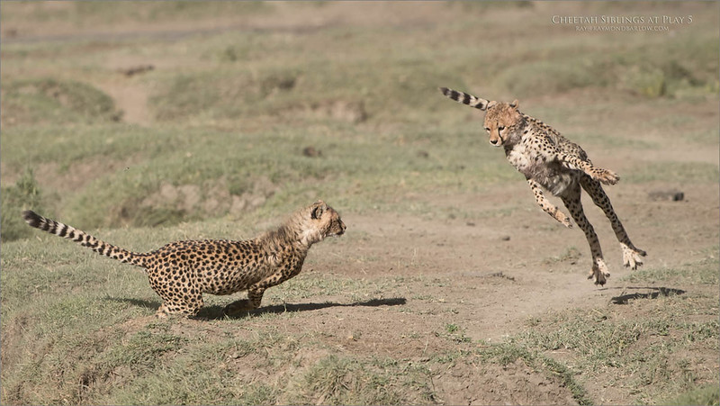 Cheetahs at Play Series 12 Shots  - Image 5 of 12