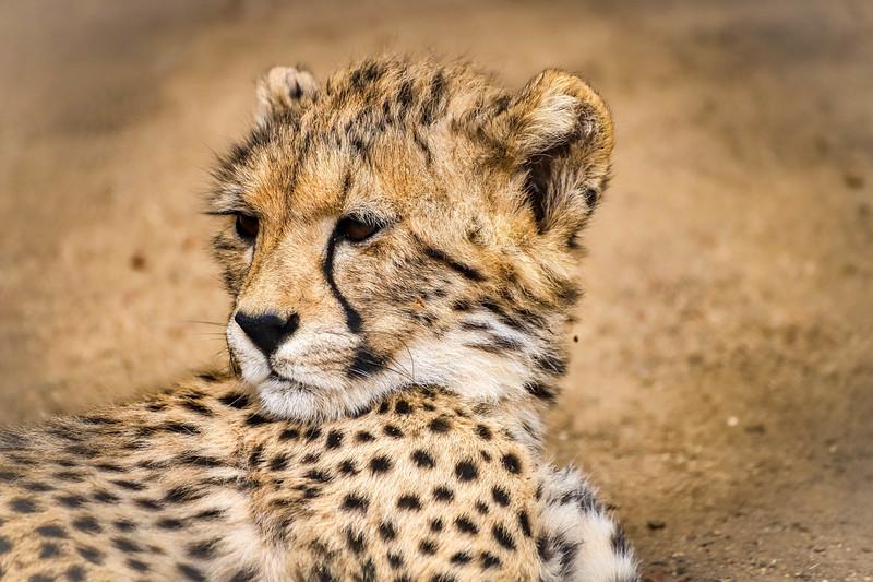 Cheetah_San Diego Zoo 2018
