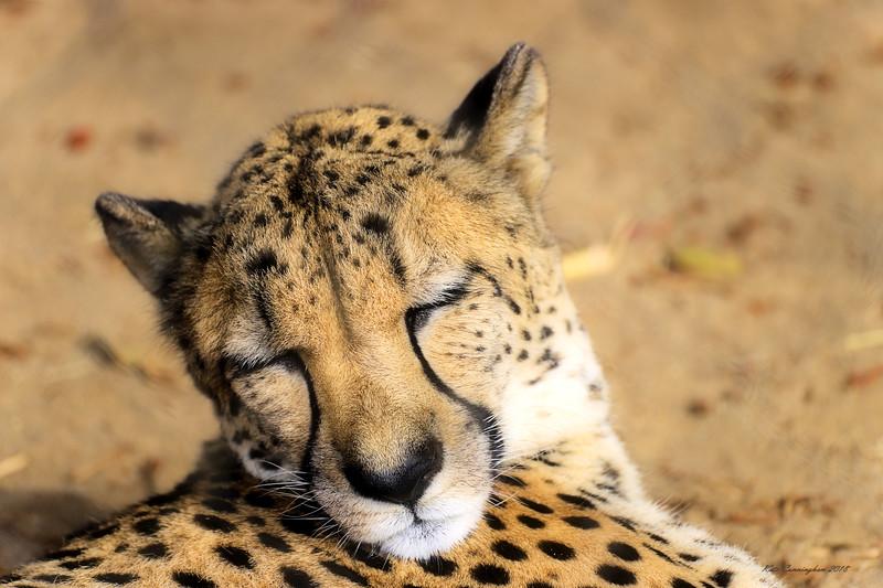 IMG_0050 Chhetah Face Sleeping San Diego Zoo 6.9.2018 GL Signed .jpg