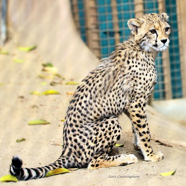 IMG_0040 Cheetah Cub 1.31.2019.jpg