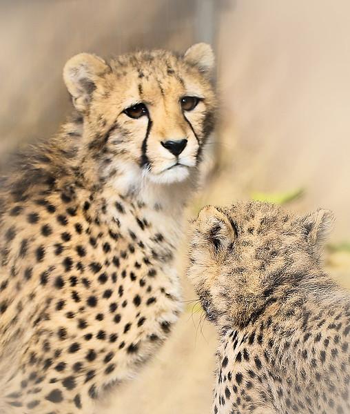 IMG_0039 Cheetah Cub Close up and Fur 1.31.2019.jpg