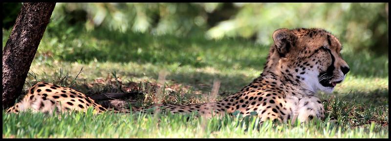IMG_0212 Edited Safari Park Cheetah.jpg